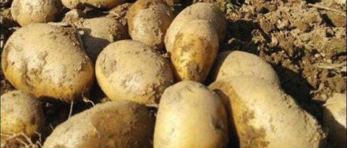 Millerplex patates