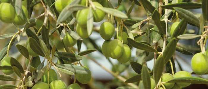 Millerplex | sıvı organik gübre zeytin gübre #millerplex #aska #zirai #zeytingübresi #miller